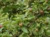 Führung durch die Obstsortenanlage in Lauf, Juni 2012