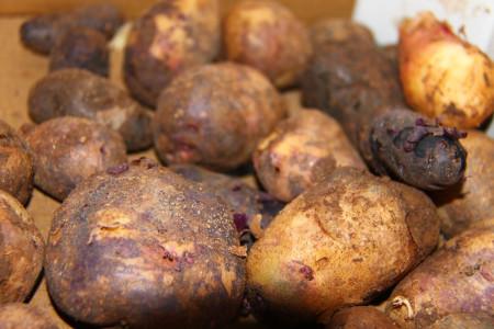 2014 Bio-Strecke Kartoffeln